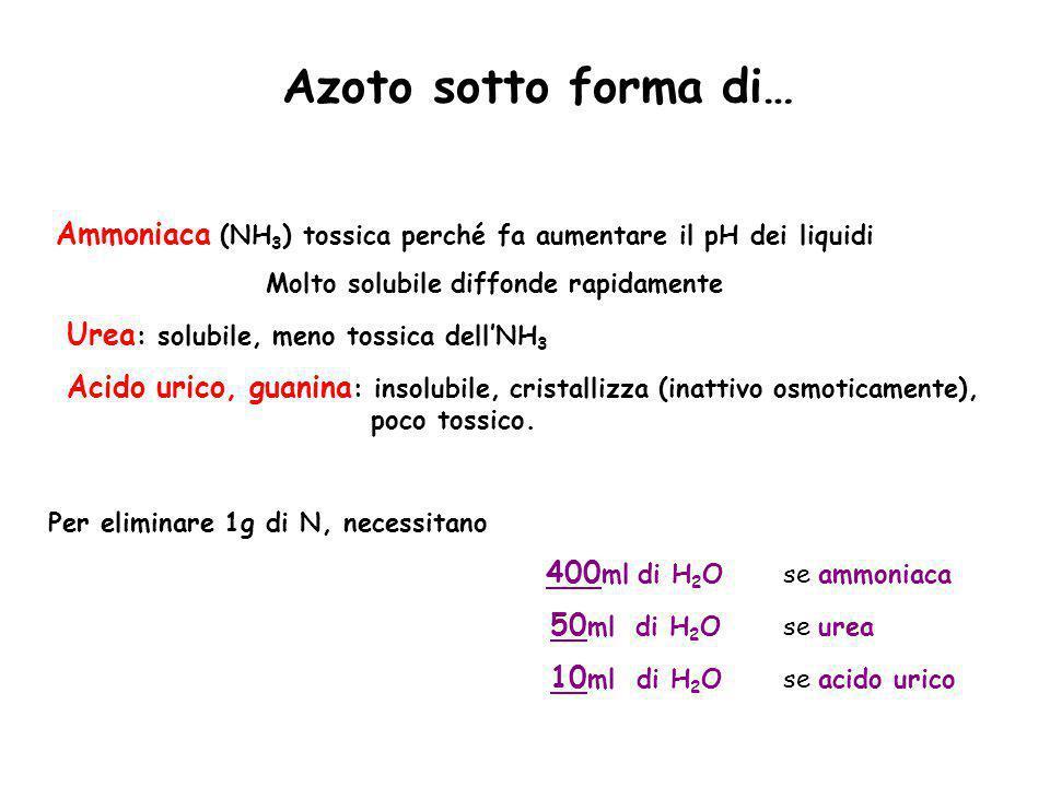 Azoto sotto forma di… Ammoniaca (NH3) tossica perché fa aumentare il pH dei liquidi. Molto solubile diffonde rapidamente.