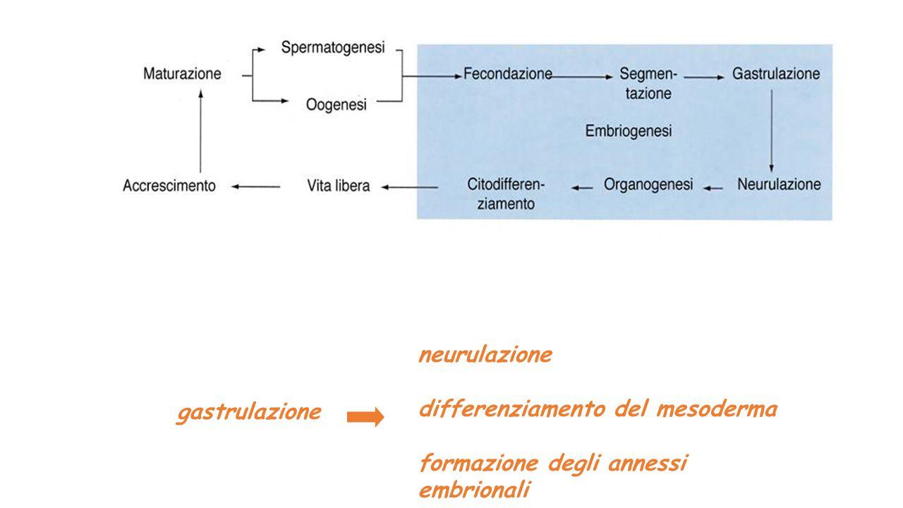 neurulazione differenziamento del mesoderma formazione degli annessi embrionali gastrulazione