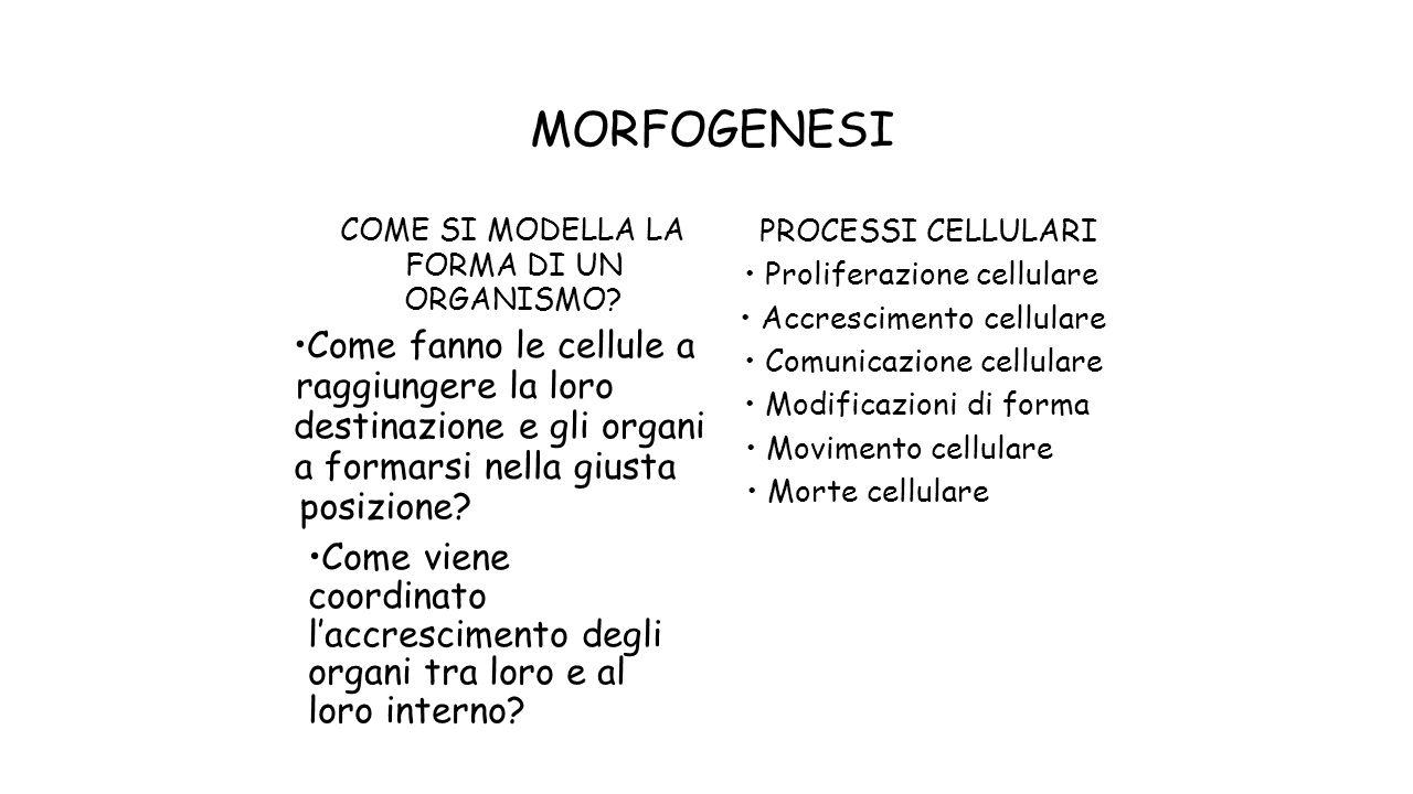 MORFOGENESI •Come fanno le cellule a raggiungere la loro