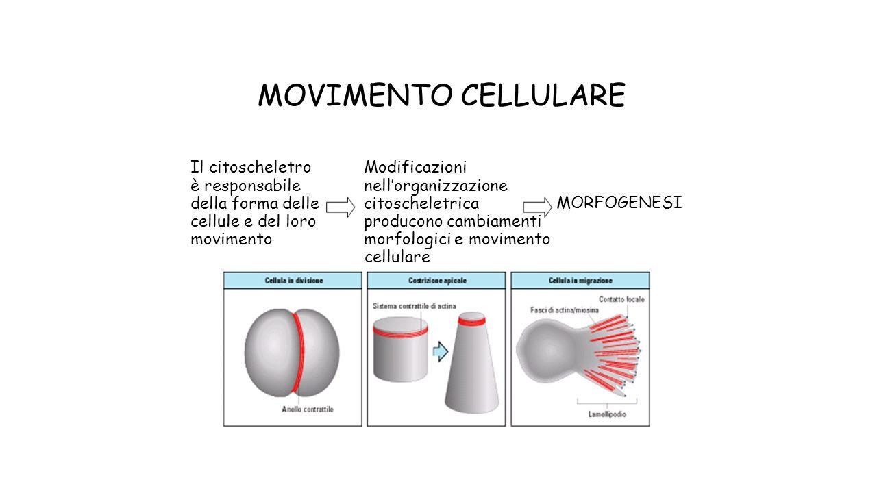MOVIMENTO CELLULARE Il citoscheletro Modificazioni è responsabile