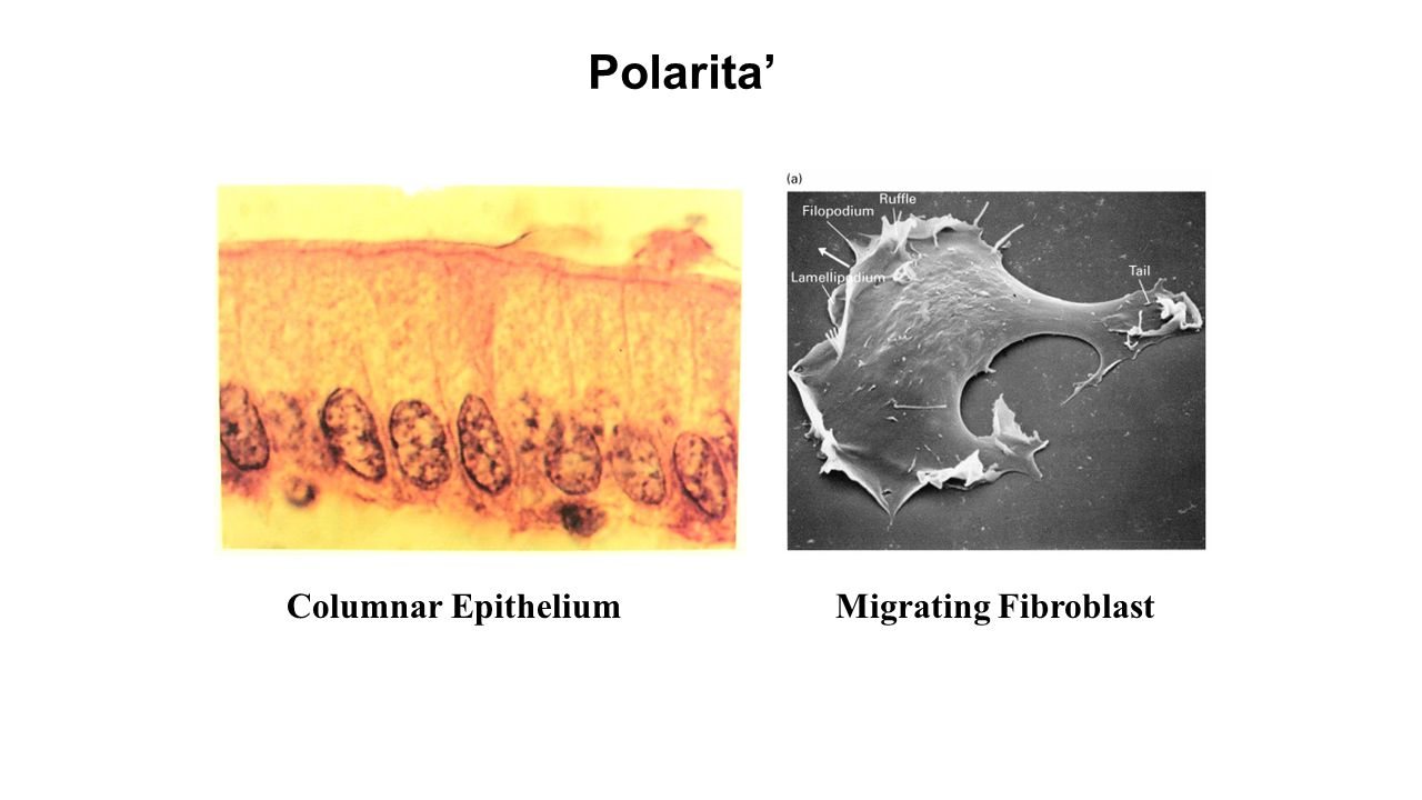 Polarita' Columnar Epithelium Migrating Fibroblast