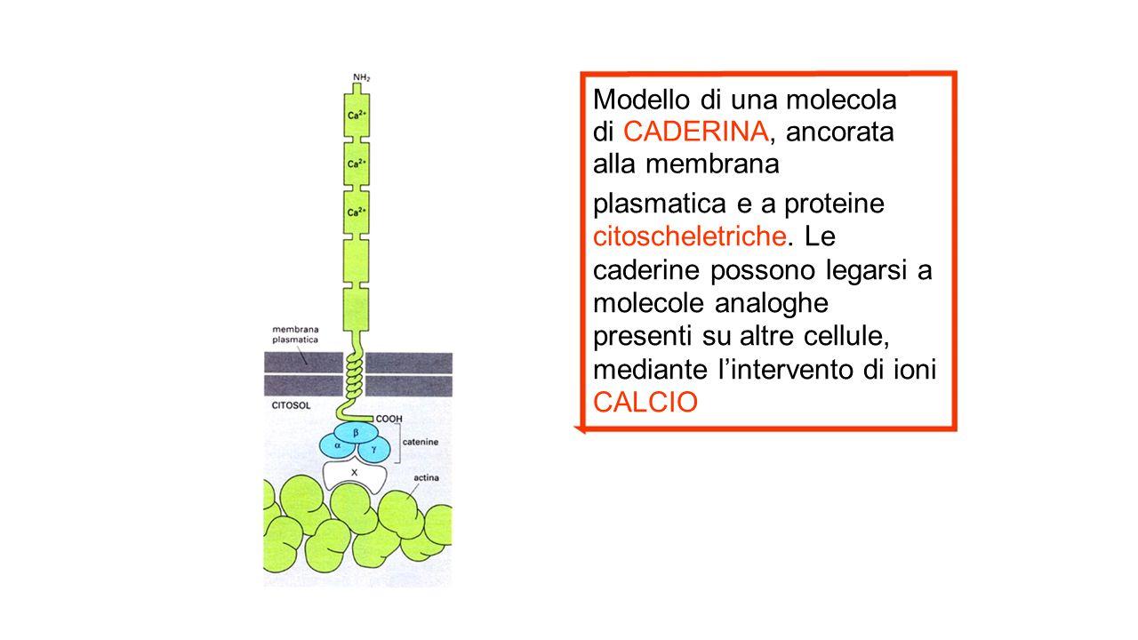 Modello di una molecola di CADERINA, ancorata alla membrana