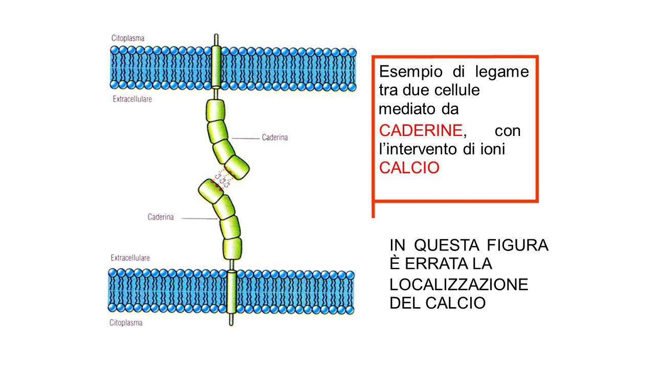 Esempio di legame tra due cellule
