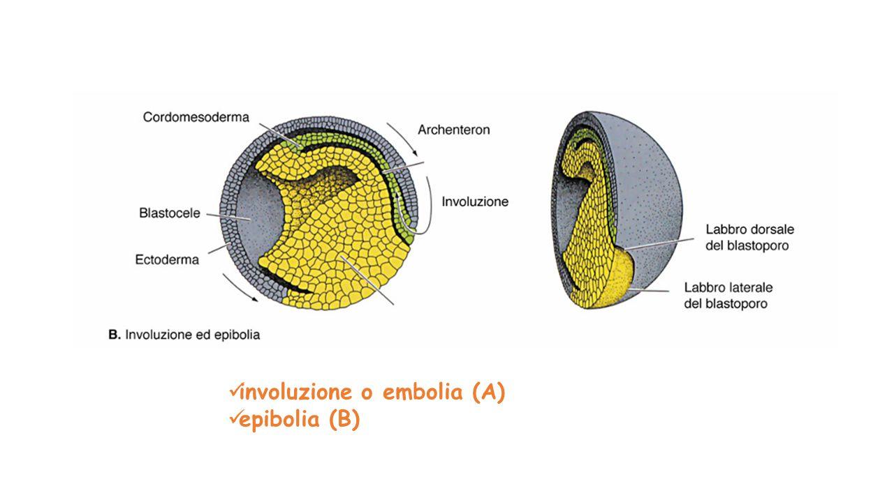 involuzione o embolia (A)