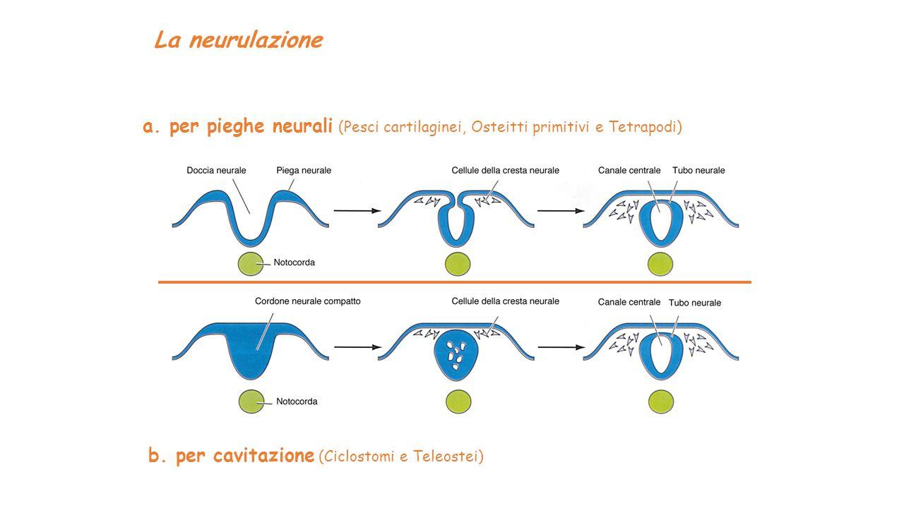 La neurulazione a. per pieghe neurali (Pesci cartilaginei, Osteitti primitivi e Tetrapodi) b.