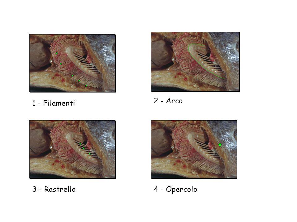 2 - Arco 1 - Filamenti 3 - Rastrello 4 - Opercolo