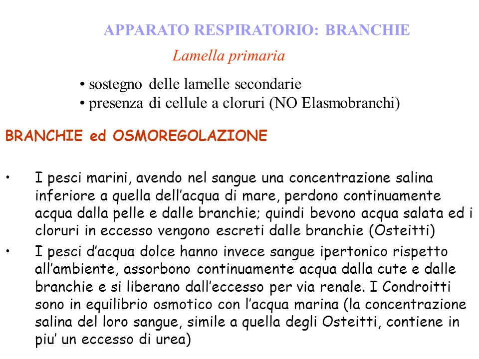 APPARATO RESPIRATORIO: BRANCHIE