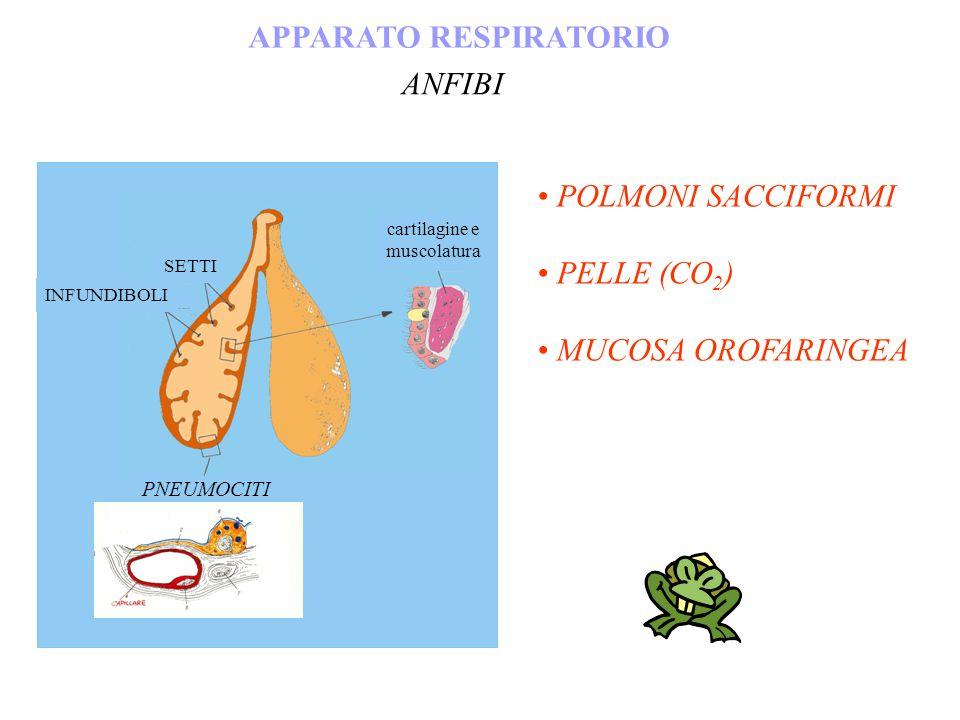 APPARATO RESPIRATORIO ANFIBI