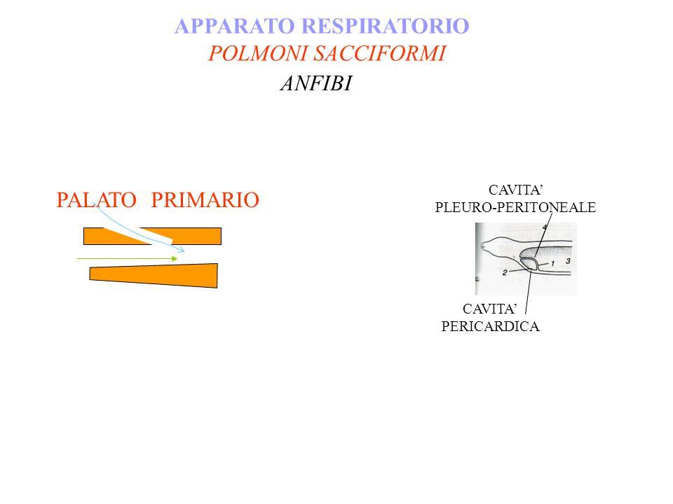 APPARATO RESPIRATORIO POLMONI SACCIFORMI ANFIBI