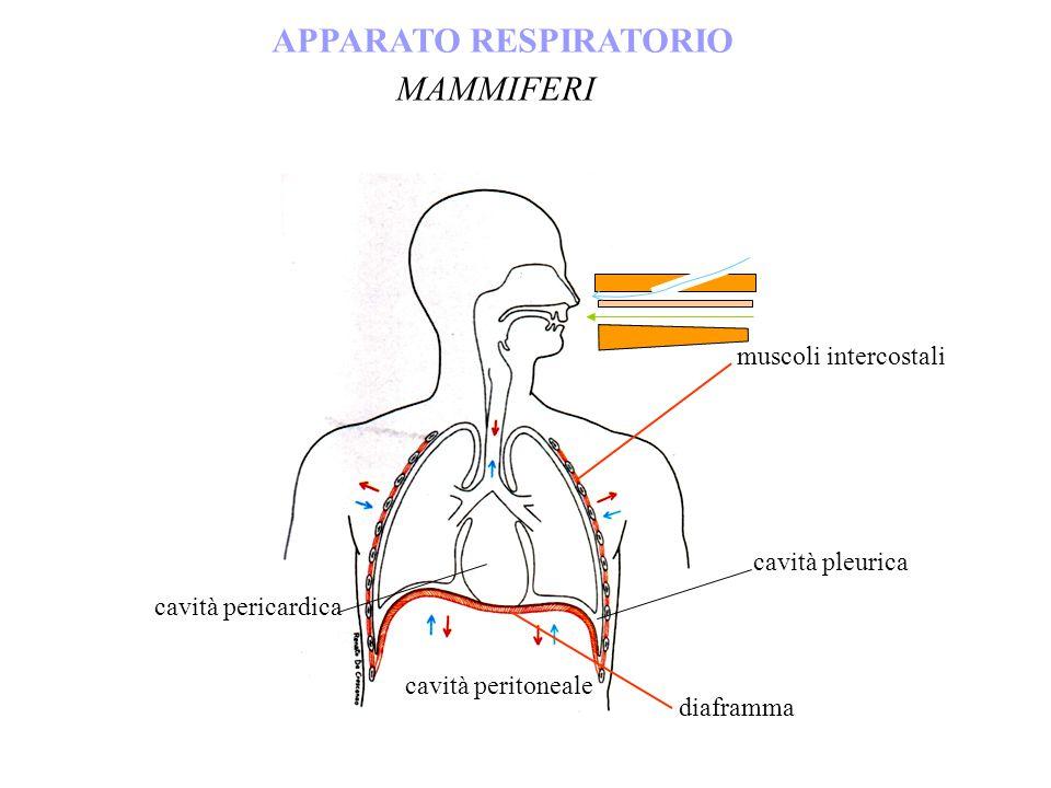 APPARATO RESPIRATORIO MAMMIFERI