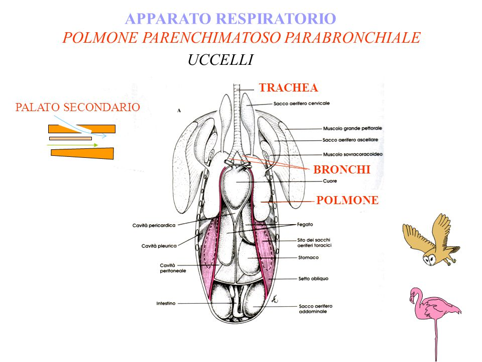 POLMONE PARENCHIMATOSO PARABRONCHIALE APPARATO RESPIRATORIO
