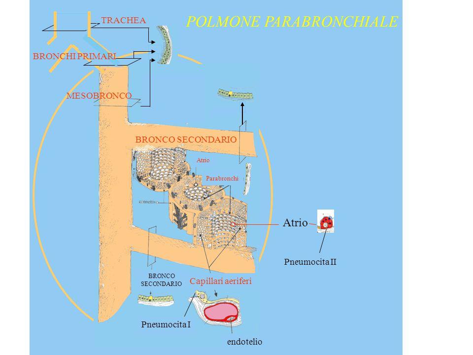 POLMONE PARABRONCHIALE
