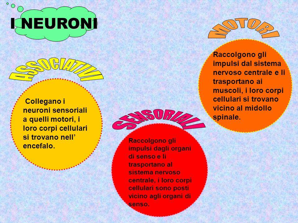 I NEURONI MOTORI ASSOCIATIVI SENSORIALI