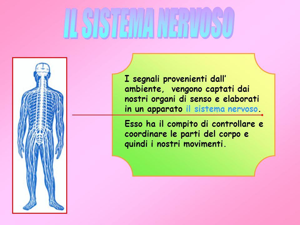 IL SISTEMA NERVOSO I segnali provenienti dall' ambiente, vengono captati dai nostri organi di senso e elaborati in un apparato il sistema nervoso.