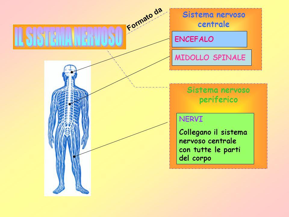 Sistema nervoso centrale Sistema nervoso periferico