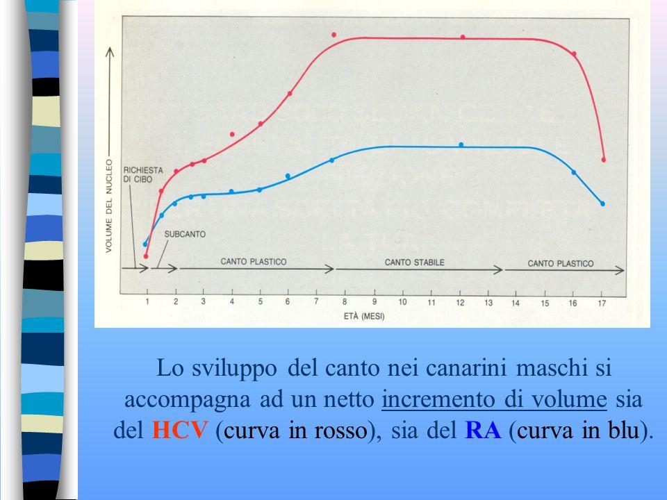 Lo sviluppo del canto nei canarini maschi si accompagna ad un netto incremento di volume sia del HCV (curva in rosso), sia del RA (curva in blu).