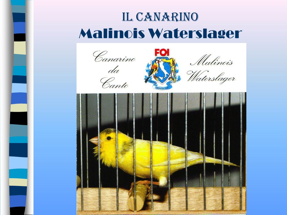Il Canarino Malinois Waterslager