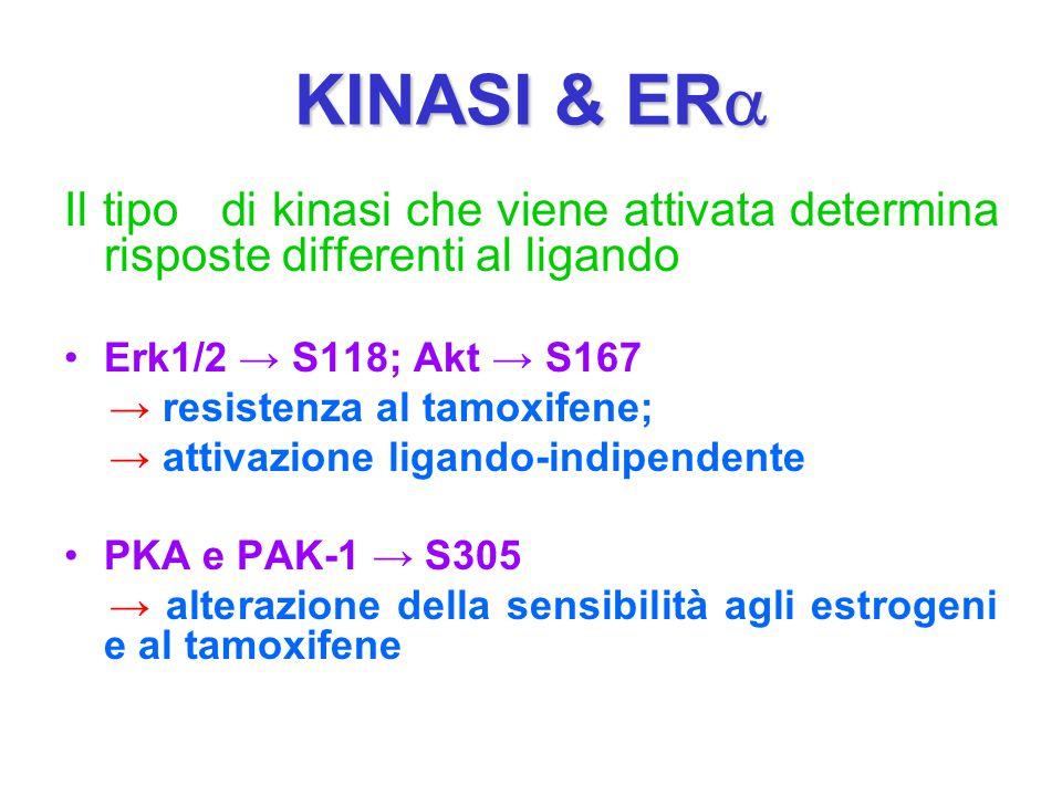 KINASI & ERa Il tipo di kinasi che viene attivata determina risposte differenti al ligando. Erk1/2 → S118; Akt → S167.