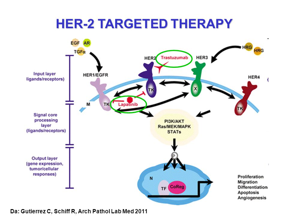 HER-2 TARGETED THERAPY Da: Gutierrez C, Schiff R, Arch Pathol Lab Med 2011