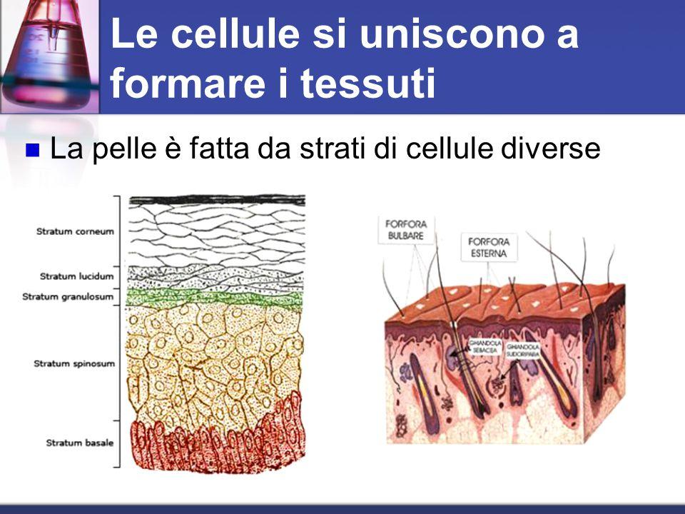 Le cellule si uniscono a formare i tessuti