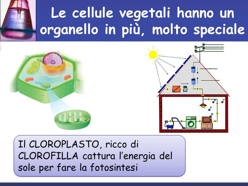 Le cellule vegetali hanno un organello in più, molto speciale