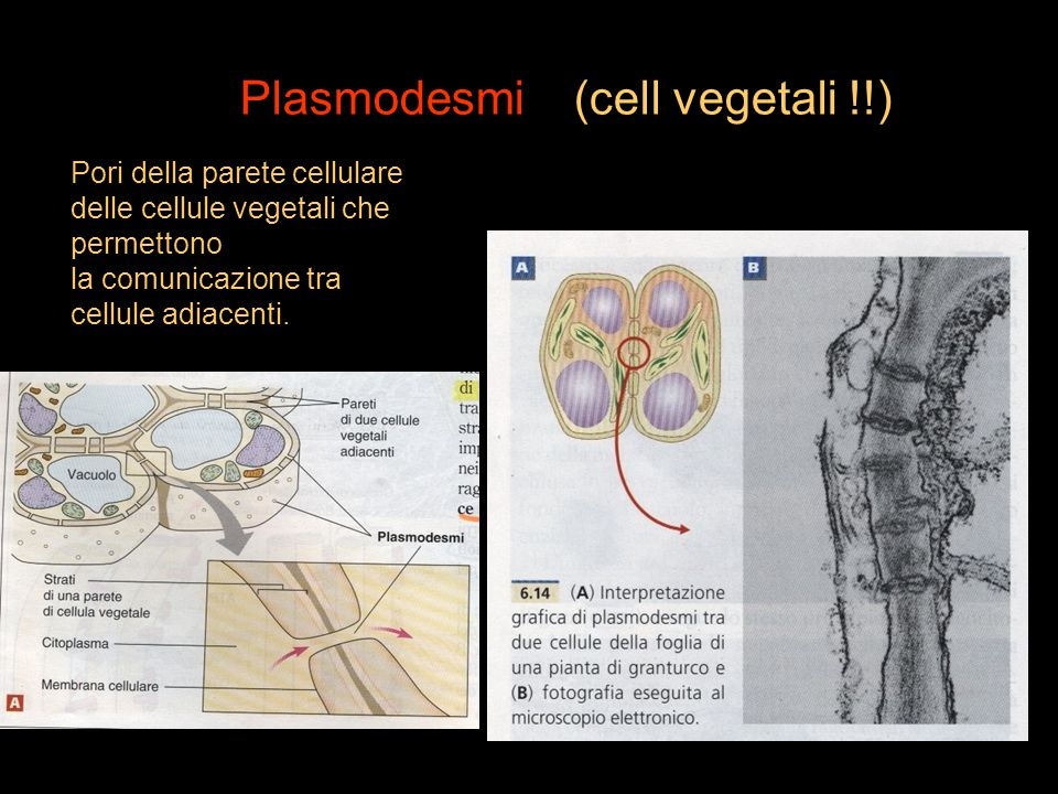 Plasmodesmi (cell vegetali !!)