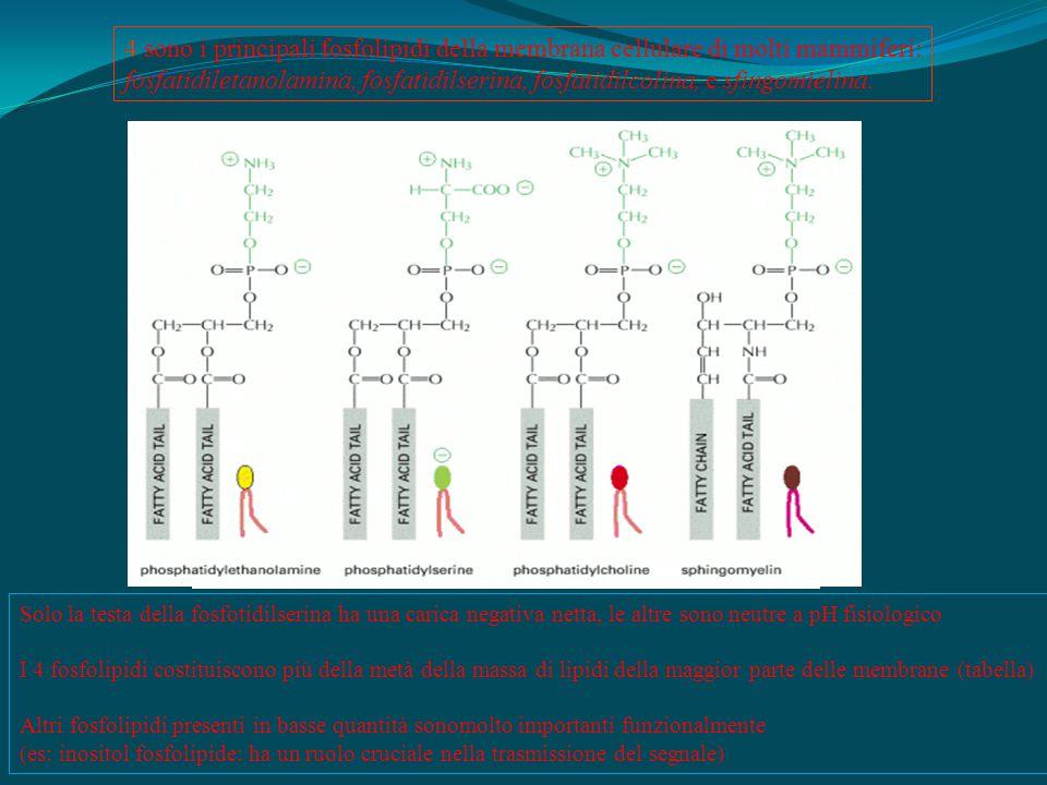 4 sono i principali fosfolipidi della membrana cellulare di molti mammiferi: