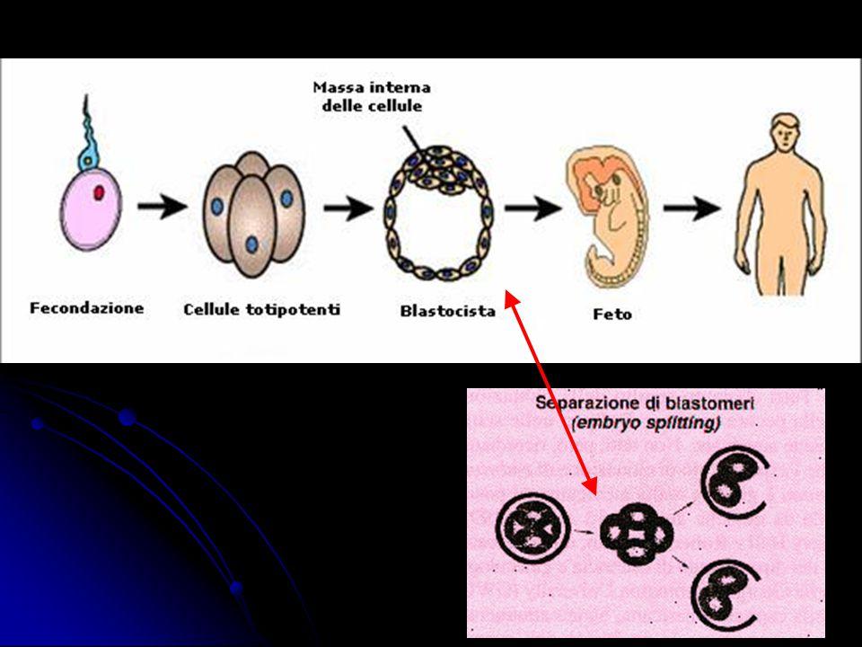 Splitting: Si è trattato della formazione multipla di embrioni da uno solo, e ciò è stato possibile attraverso la separazione dei blastomeri di un embrione.