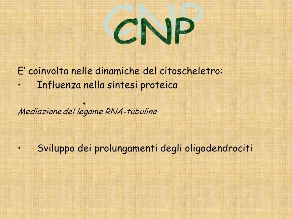 CNP E' coinvolta nelle dinamiche del citoscheletro: