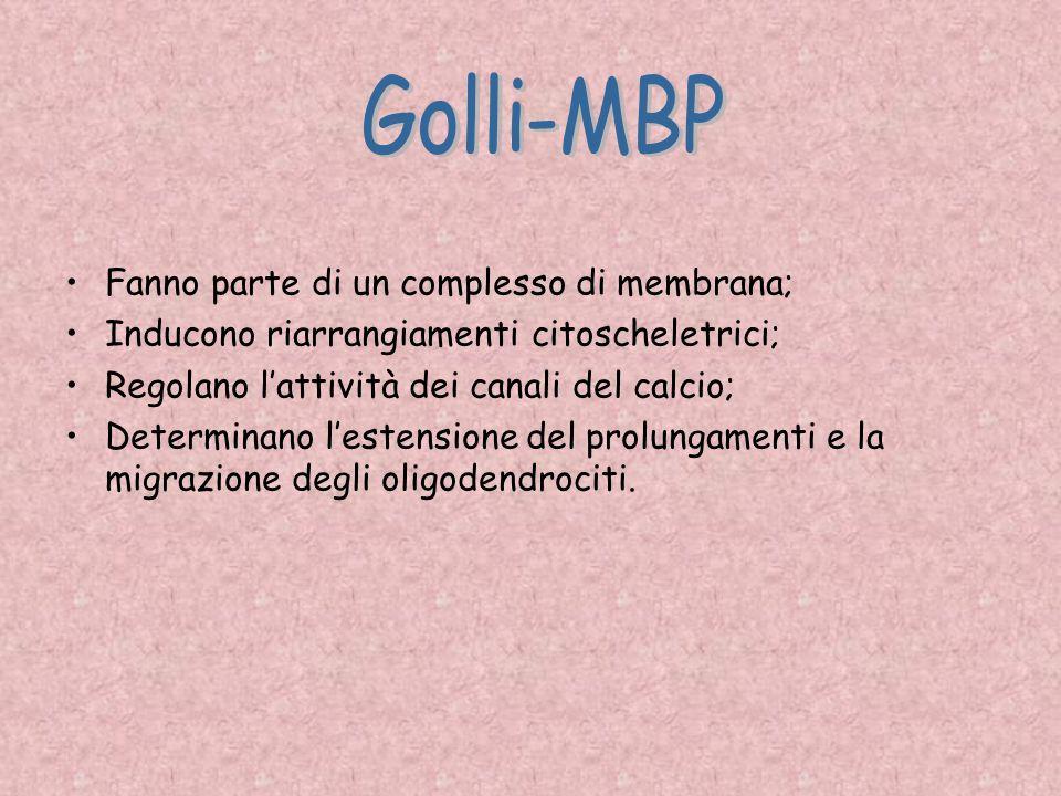 Golli-MBP Fanno parte di un complesso di membrana;
