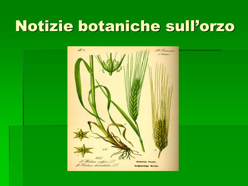 Notizie botaniche sull'orzo