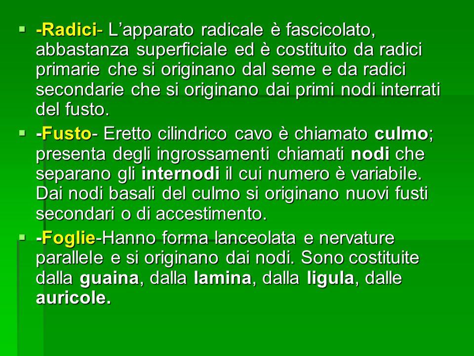-Radici- L'apparato radicale è fascicolato, abbastanza superficiale ed è costituito da radici primarie che si originano dal seme e da radici secondarie che si originano dai primi nodi interrati del fusto.
