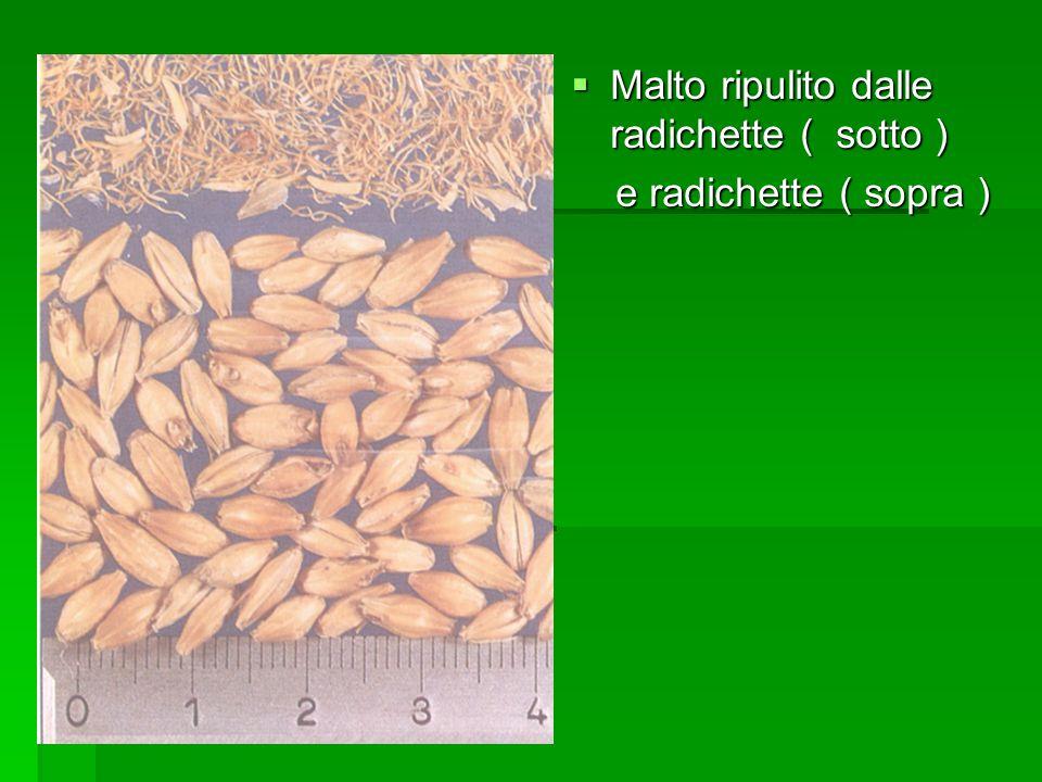 Malto ripulito dalle radichette ( sotto )