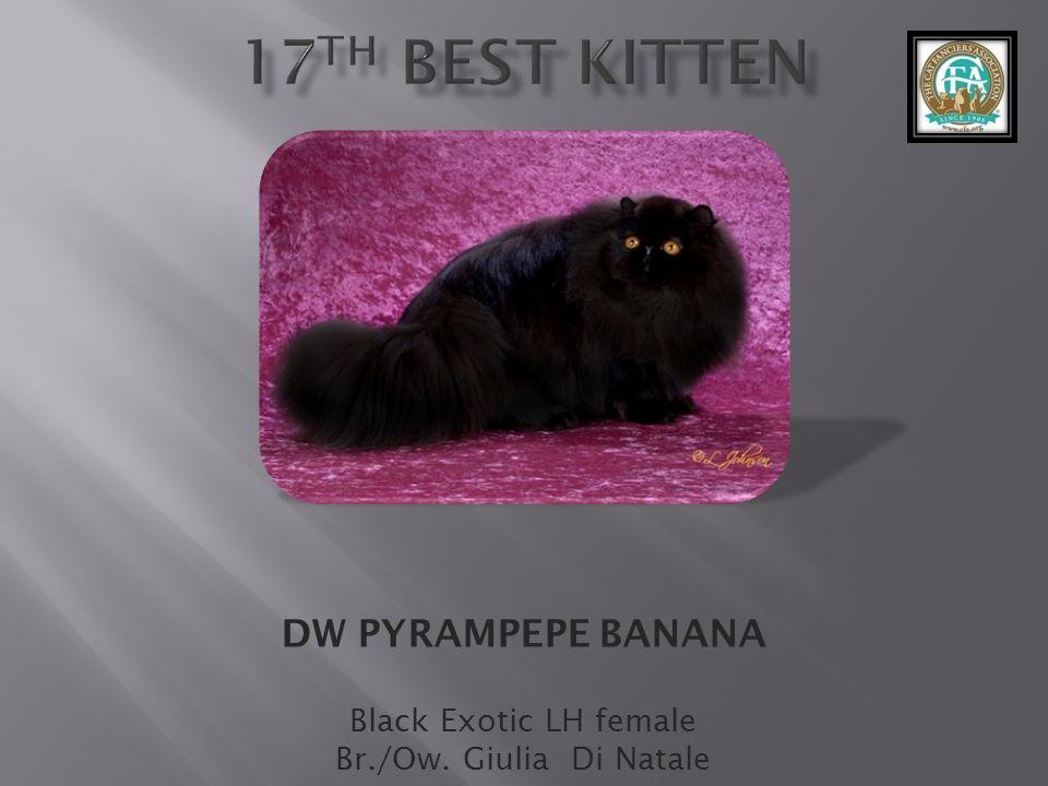 DW PYRAMPEPE BANANA Black Exotic LH female Br./Ow. Giulia Di Natale