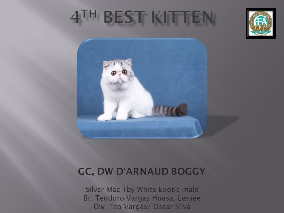 4th best Kitten GC, DW D'ARNAUD BOGGY Silver Mac Tby-White Exotic male