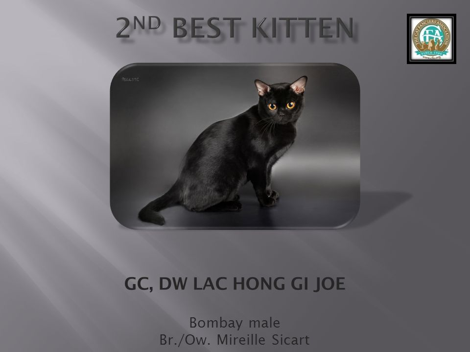 GC, DW LAC HONG GI JOE Bombay male Br./Ow. Mireille Sicart