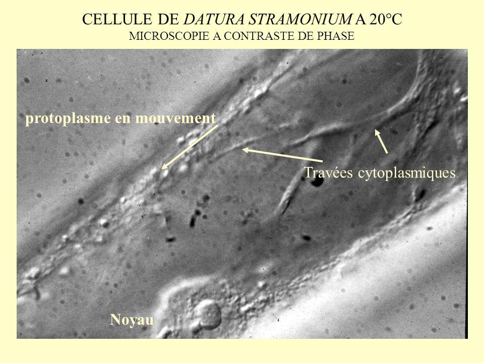 CELLULE DE DATURA STRAMONIUM A 20°C