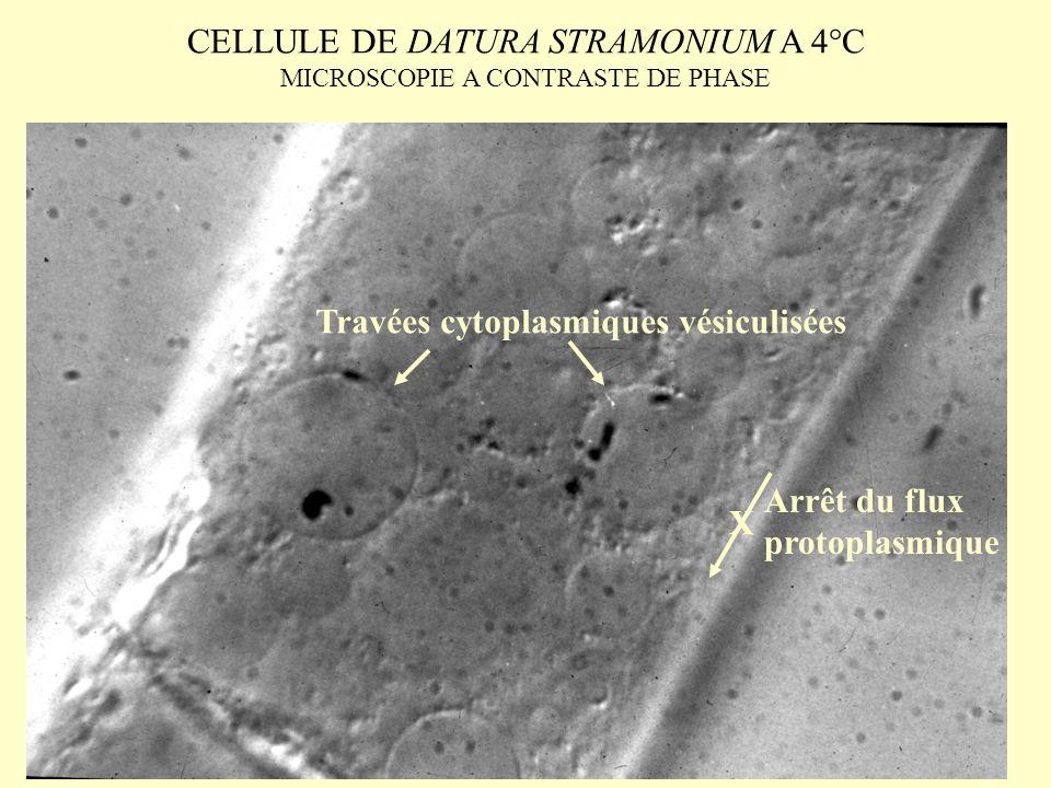 CELLULE DE DATURA STRAMONIUM A 4°C