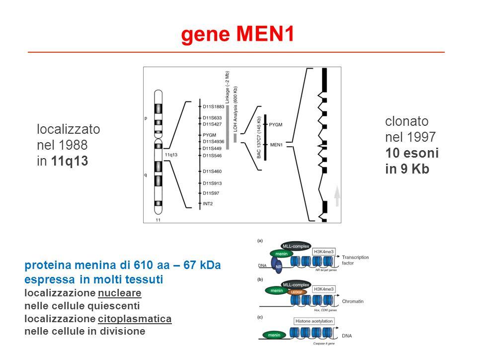 gene MEN1 clonato nel 1997 10 esoni in 9 Kb localizzato nel 1988