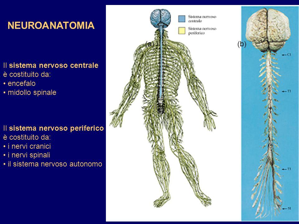 NEUROANATOMIA (a) (b) Il sistema nervoso centrale è costituito da: