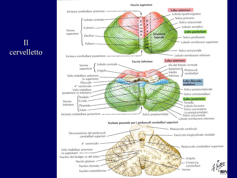 Il cervelletto