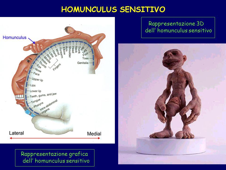 HOMUNCULUS SENSITIVO Rappresentazione 3D dell' homunculus sensitivo