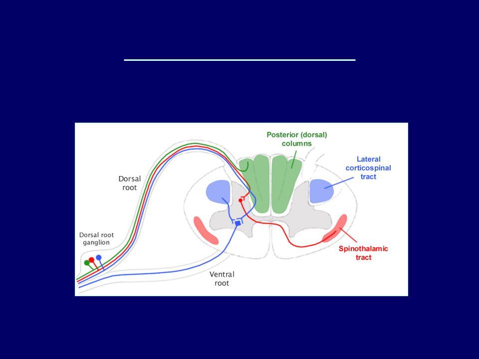 Sezione trasversa del midollo e fasci ascendenti e discendenti