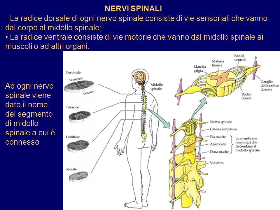 NERVI SPINALI La radice dorsale di ogni nervo spinale consiste di vie sensoriali che vanno dal corpo al midollo spinale;
