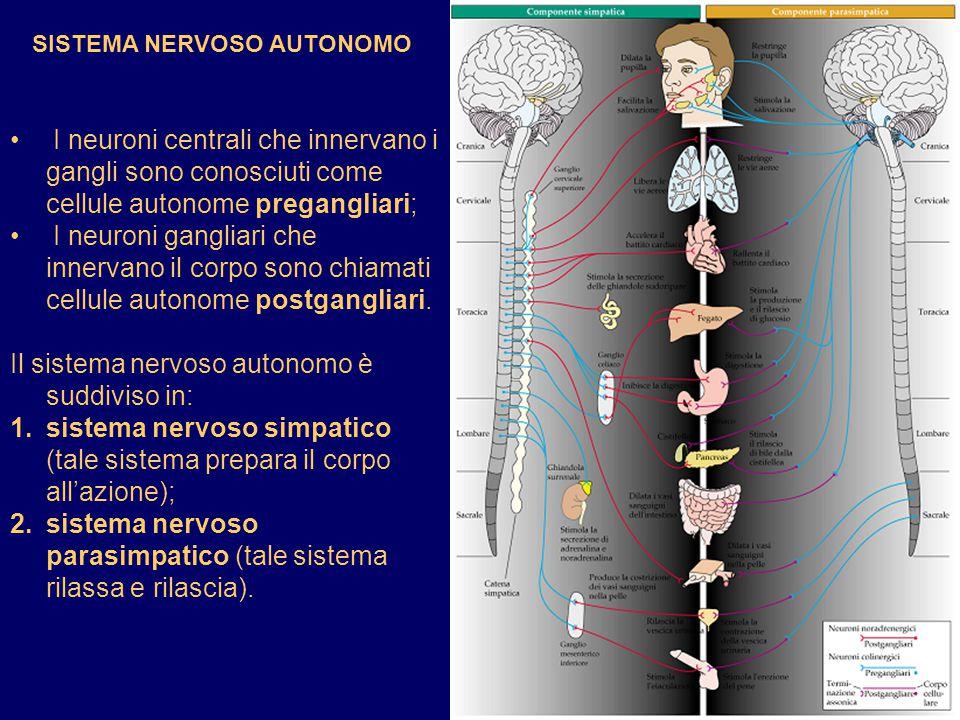 Il sistema nervoso autonomo è suddiviso in: