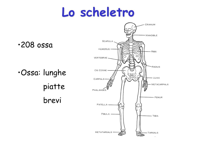 Lo scheletro 208 ossa Ossa: lunghe piatte brevi