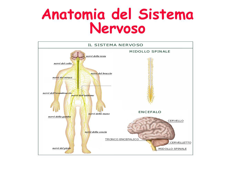 Anatomia del Sistema Nervoso