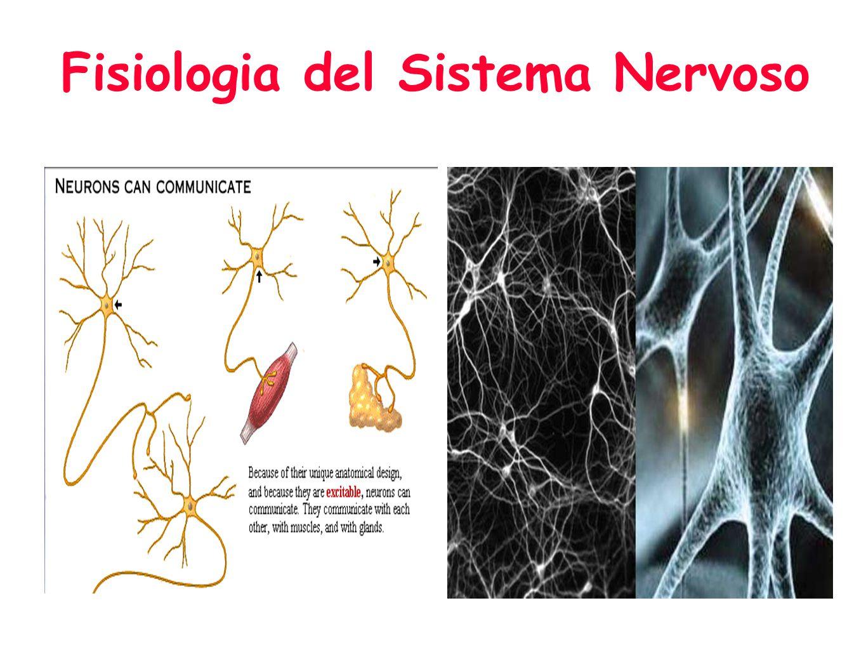Fisiologia del Sistema Nervoso