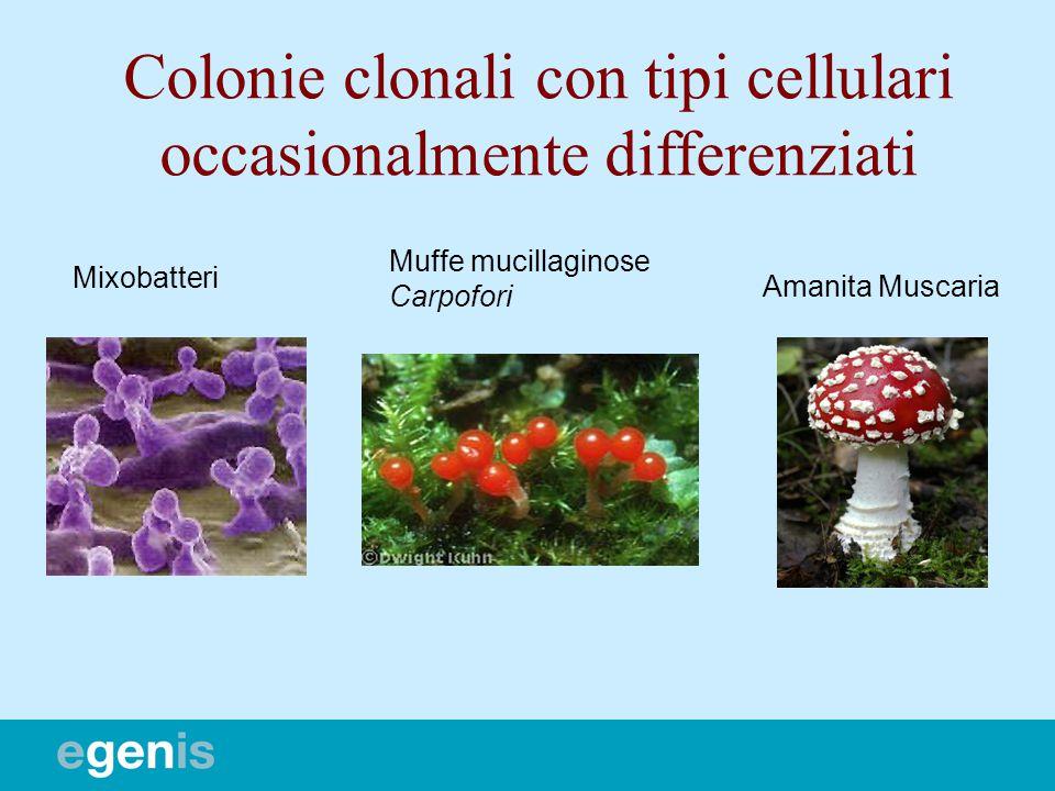 Colonie clonali con tipi cellulari occasionalmente differenziati