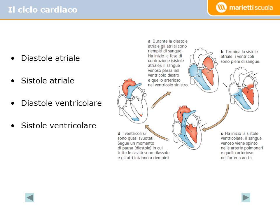 Il ciclo cardiaco Diastole atriale Sistole atriale Diastole ventricolare Sistole ventricolare